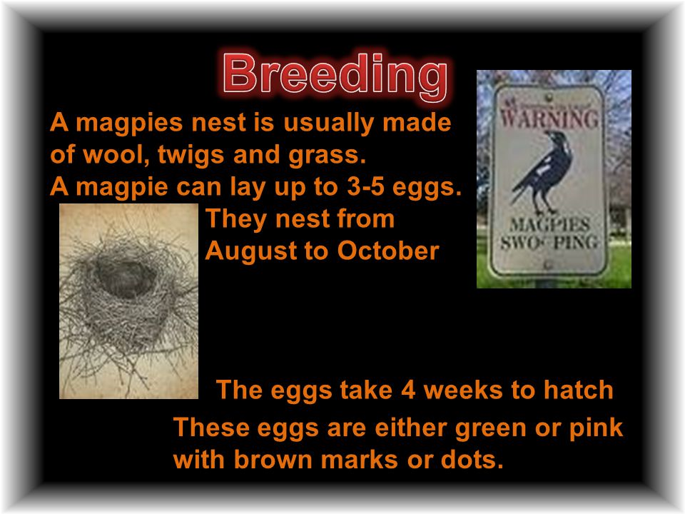 A magpies nest is usually made of wool, twigs and grass.
