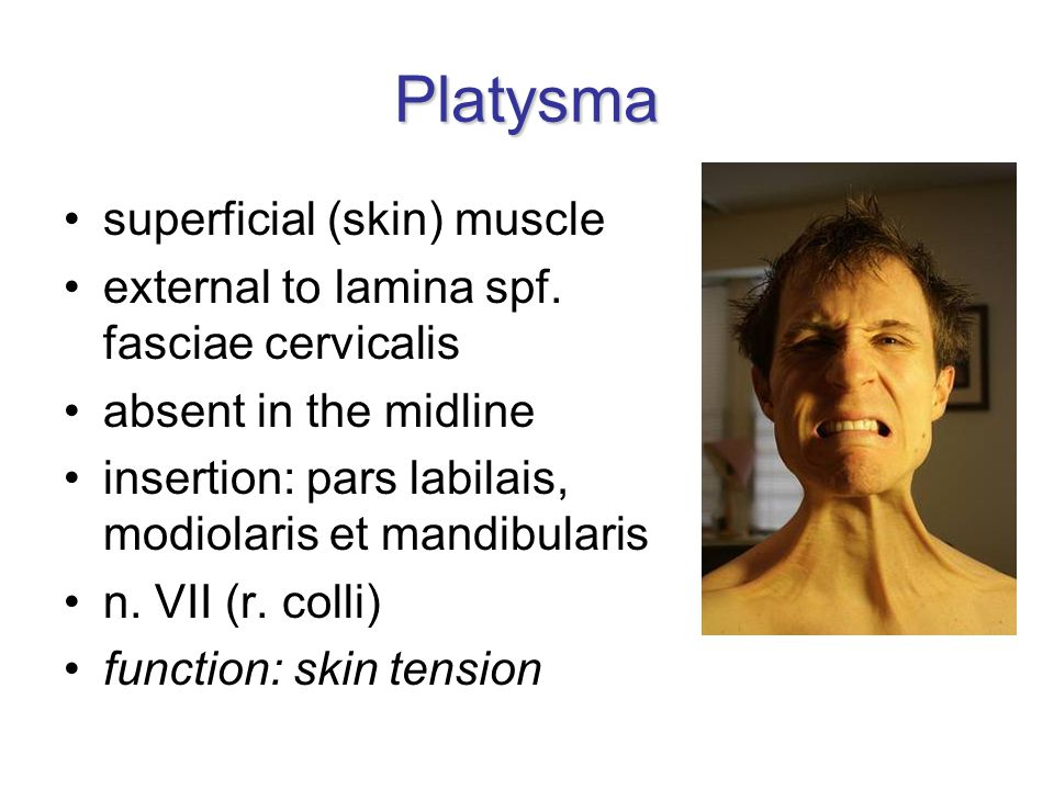 Platysma superficial (skin) muscle external to lamina spf. fasciae cervicalis absent in the midline insertion: pars labilais, modiolaris et mandibular