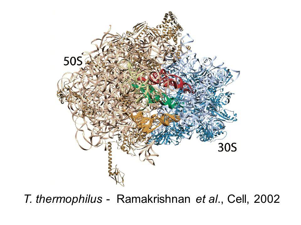 T. thermophilus - Ramakrishnan et al., Cell, 2002