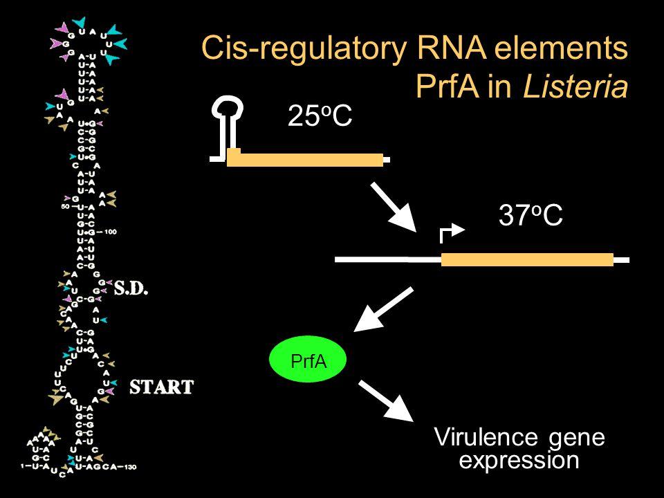 PrfA 37 o C 25 o C Virulence gene expression Cis-regulatory RNA elements PrfA in Listeria