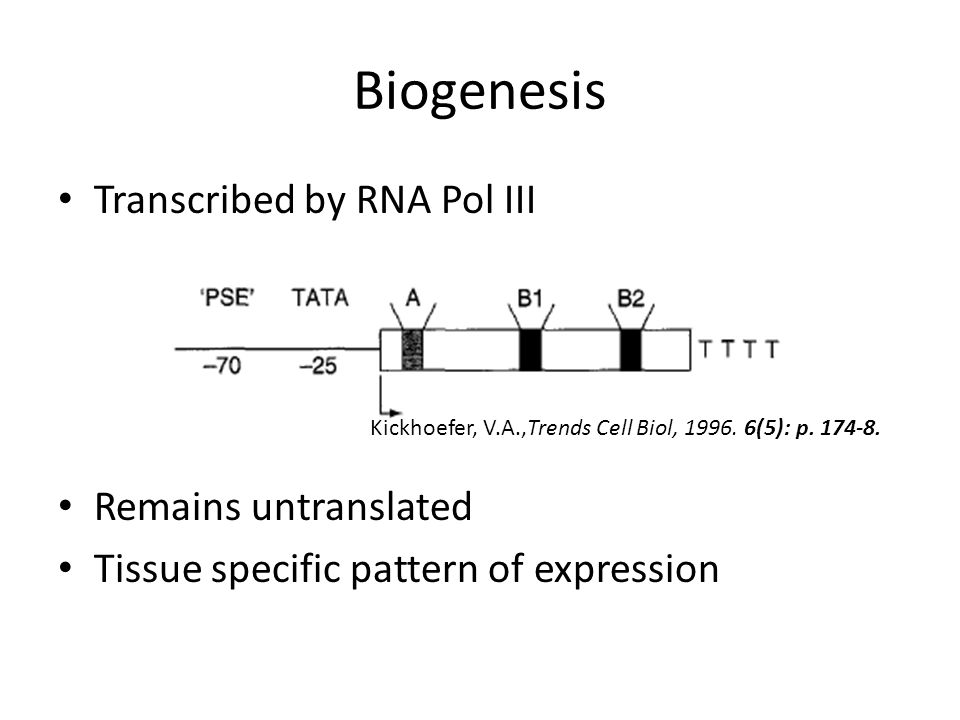 Biogenesis Transcribed by RNA Pol III Remains untranslated Tissue specific pattern of expression Kickhoefer, V.A.,Trends Cell Biol, 1996. 6(5): p. 174