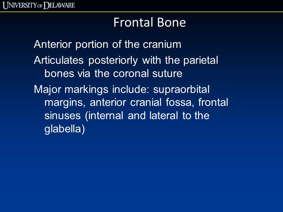 Frontal Bone Anterior portion of the cranium Articulates posteriorly with the parietal bones via the coronal suture Major markings include: supraorbit