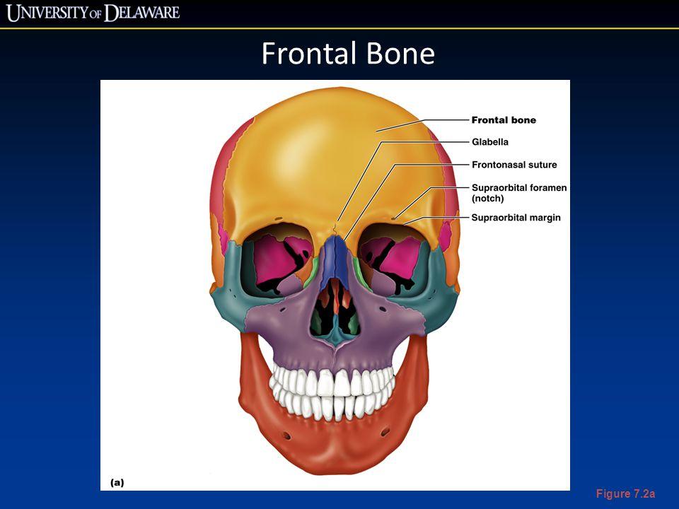 Frontal Bone Figure 7.2a