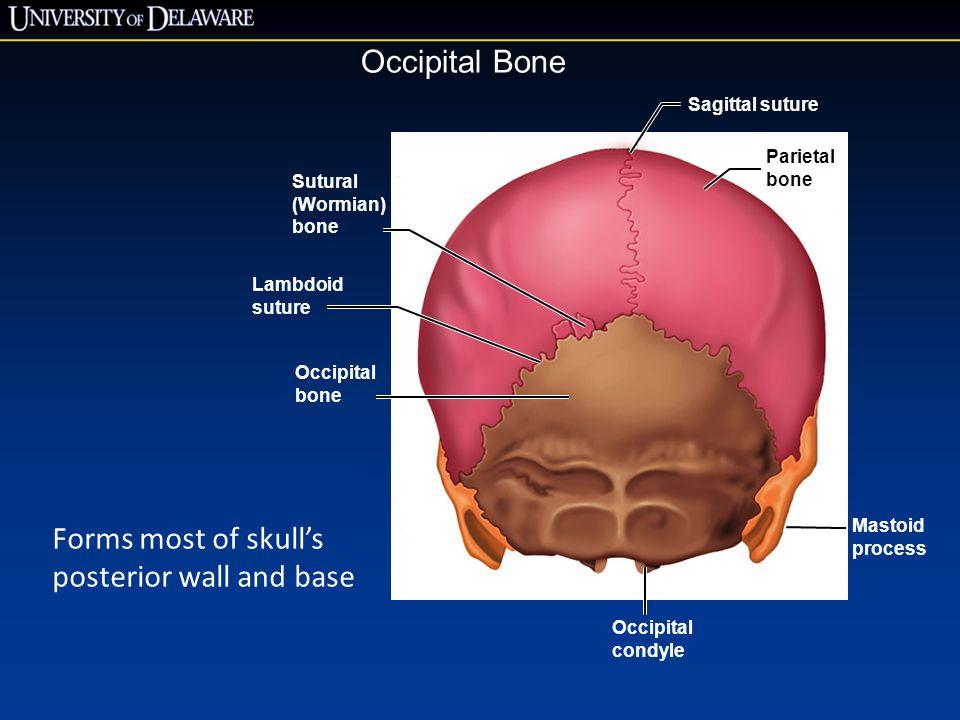 Lambdoid suture Occipital bone Occipital condyle Mastoid process Parietal bone Sagittal suture Sutural (Wormian) bone Occipital Bone Forms most of sku