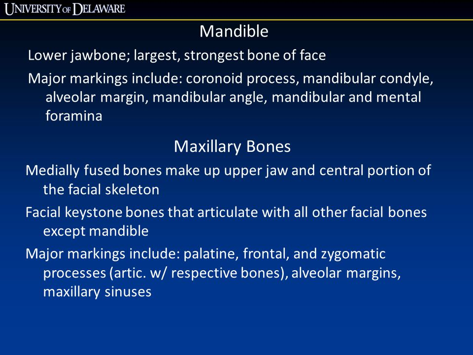 Mandible Lower jawbone; largest, strongest bone of face Major markings include: coronoid process, mandibular condyle, alveolar margin, mandibular angl