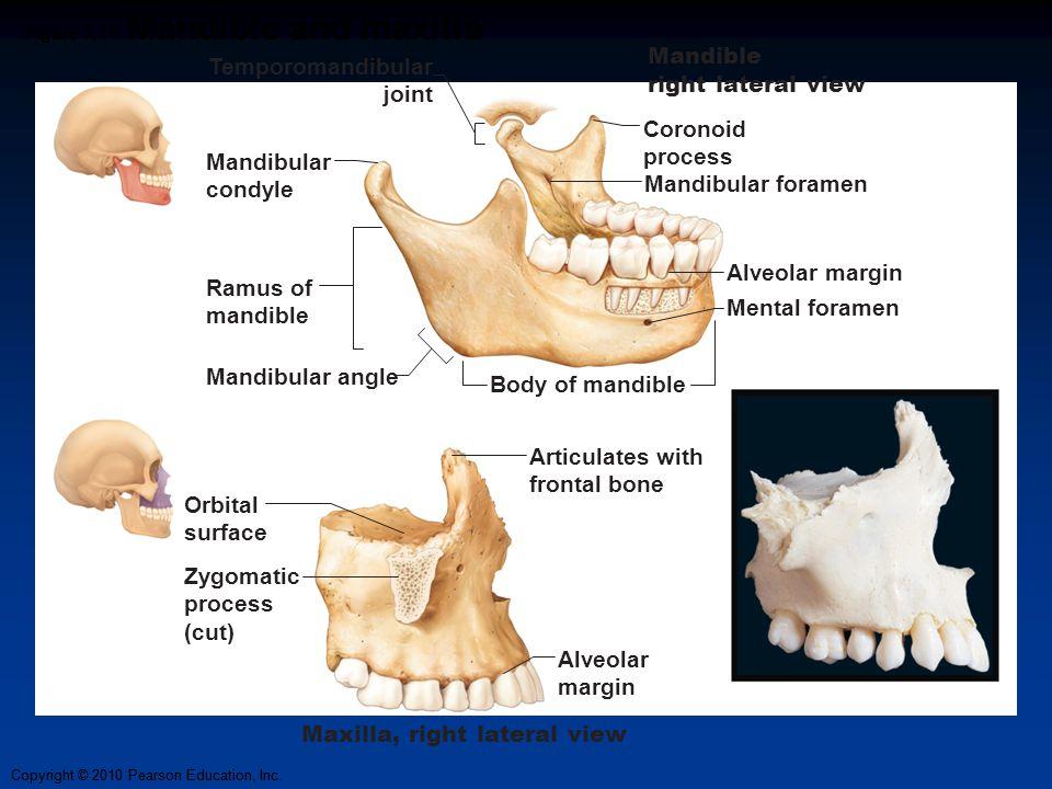 Copyright © 2010 Pearson Education, Inc. Figure 7.11 Mandible and maxilla Coronoid process Mandibular foramen Mental foramen Ramus of mandible Mandibu