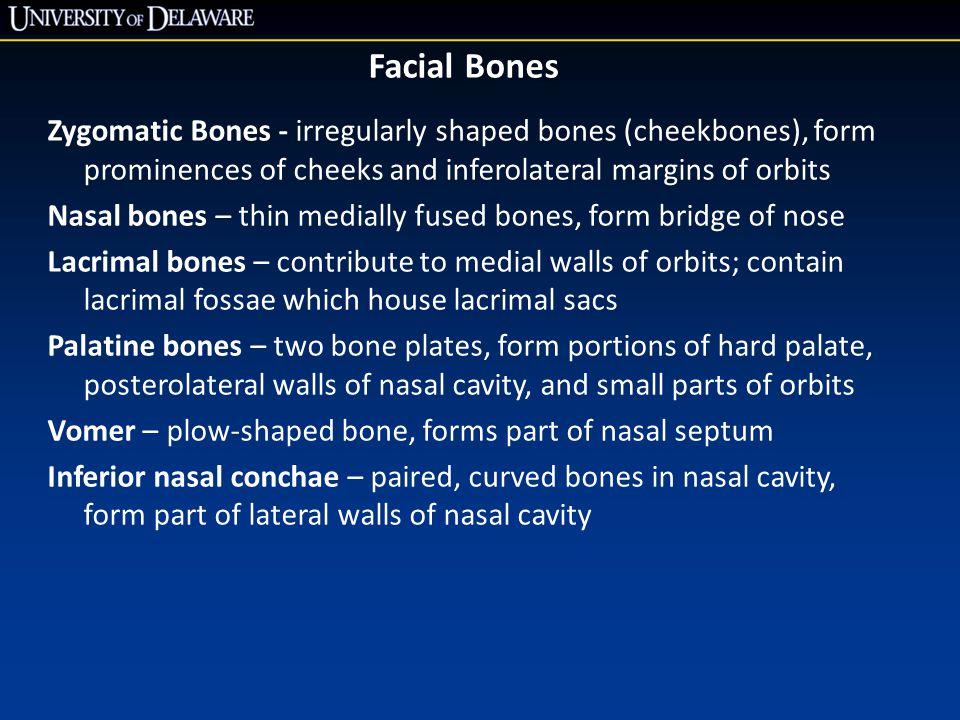 Facial Bones Zygomatic Bones - irregularly shaped bones (cheekbones), form prominences of cheeks and inferolateral margins of orbits Nasal bones – thi