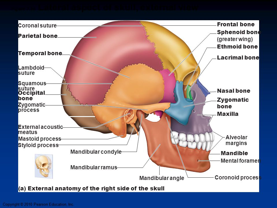 Copyright © 2010 Pearson Education, Inc. Figure 7.5a Lateral aspect of skull, external view Coronal suture Frontal bone Sphenoid bone (greater wing) E