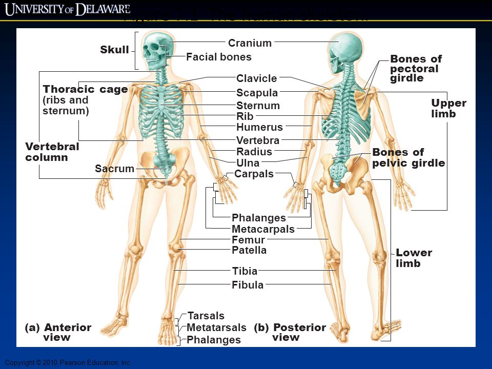 Copyright © 2010 Pearson Education, Inc. Figure 7.1 The human skeleton. Skull Thoracic cage (ribs and sternum) (a) Anterior view (b) Posterior view Fa
