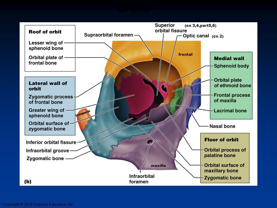 Copyright © 2010 Pearson Education, Inc. Orbits (cn 3,4,part5,6) (cn 2) maxilla frontal temporal