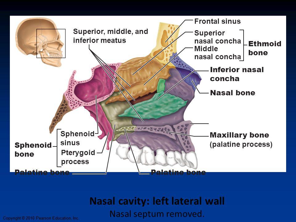 Copyright © 2010 Pearson Education, Inc. Nasal cavity: left lateral wall Nasal septum removed. Maxillary bone (palatine process) Palatine bone Pterygo