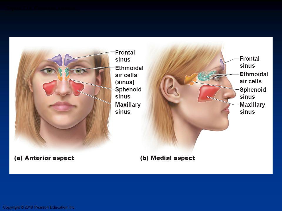 Copyright © 2010 Pearson Education, Inc. Figure 7.15 Paranasal sinuses. Frontal sinus Ethmoidal air cells (sinus) Maxillary sinus Sphenoid sinus Front