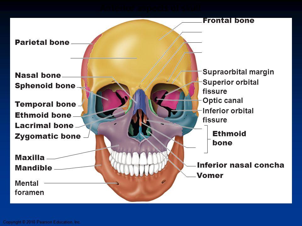 Copyright © 2010 Pearson Education, Inc. Anterior aspects of skull Parietal bone Nasal bone Sphenoid bone Temporal bone Ethmoid bone Lacrimal bone Zyg