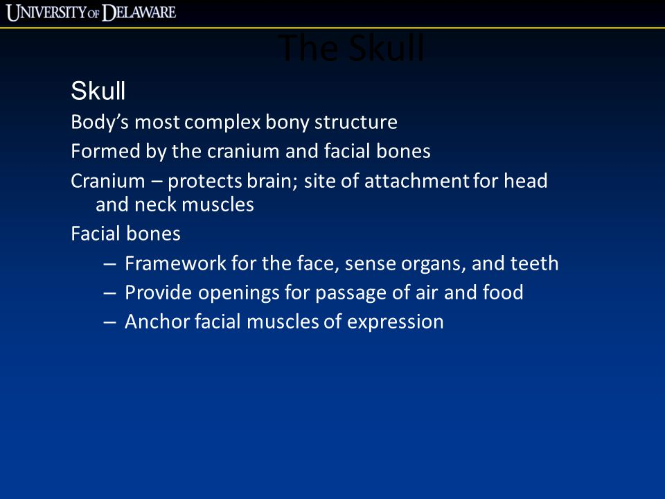 The Skull Skull Body's most complex bony structure Formed by the cranium and facial bones Cranium – protects brain; site of attachment for head and ne
