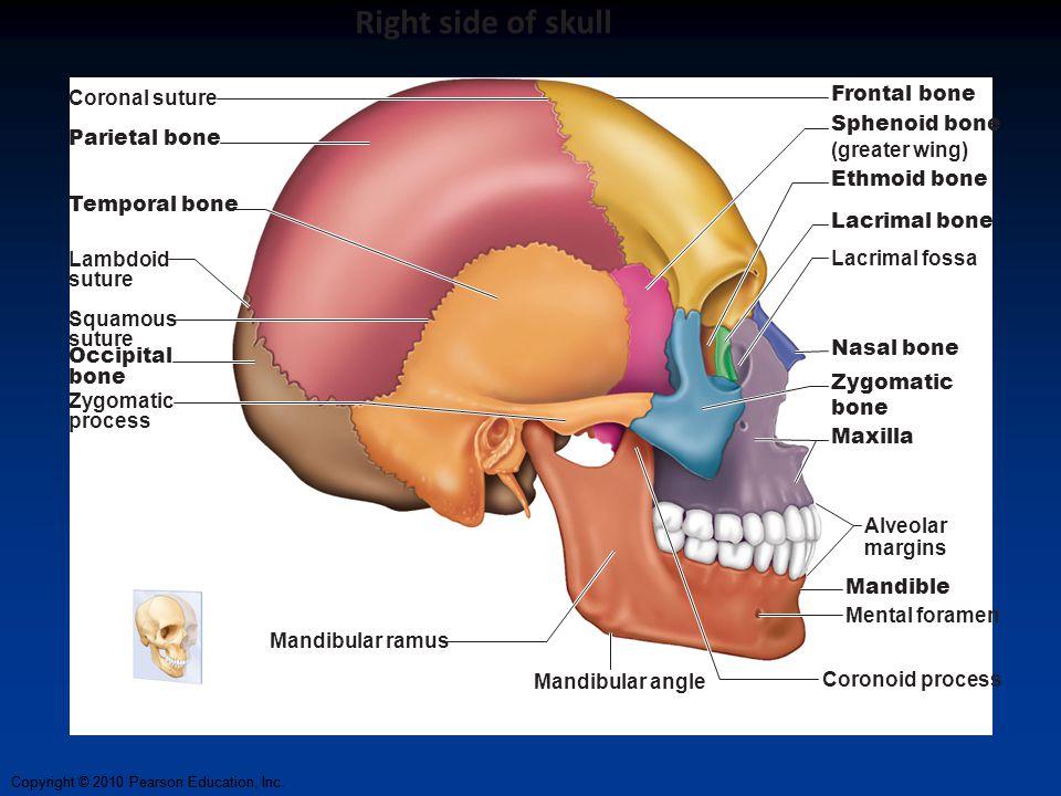 Copyright © 2010 Pearson Education, Inc. Coronal suture Frontal bone Sphenoid bone (greater wing) Ethmoid bone Lacrimal bone Lacrimal fossa Nasal bone
