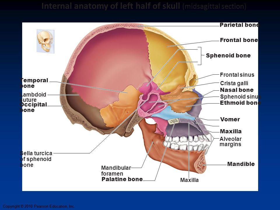 Copyright © 2010 Pearson Education, Inc. Parietal bone Frontal bone Frontal sinus Crista galli Nasal bone Sphenoid sinus Ethmoid bone Vomer Maxilla Ma
