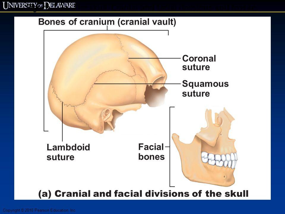 Copyright © 2010 Pearson Education, Inc. Figure 7.2a The skull: Cranial and facial divisions and fossae. Bones of cranium (cranial vault) Lambdoid sut