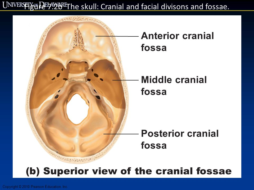 Copyright © 2010 Pearson Education, Inc. Figure 7.2b The skull: Cranial and facial divisons and fossae. Anterior cranial fossa Middle cranial fossa Po