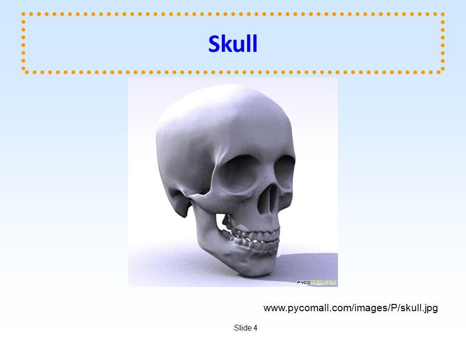 Slide 4 Skull www.pycomall.com/images/P/skull.jpg