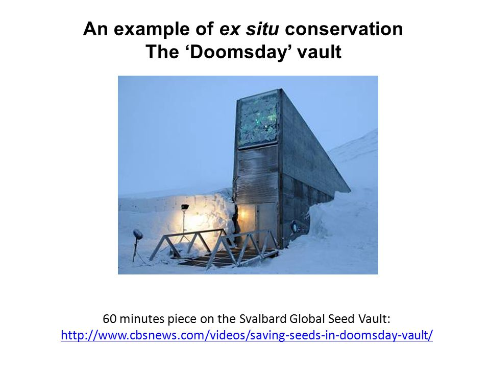 An example of ex situ conservation The 'Doomsday' vault 60 minutes piece on the Svalbard Global Seed Vault: http://www.cbsnews.com/videos/saving-seeds-in-doomsday-vault/ http://www.cbsnews.com/videos/saving-seeds-in-doomsday-vault/