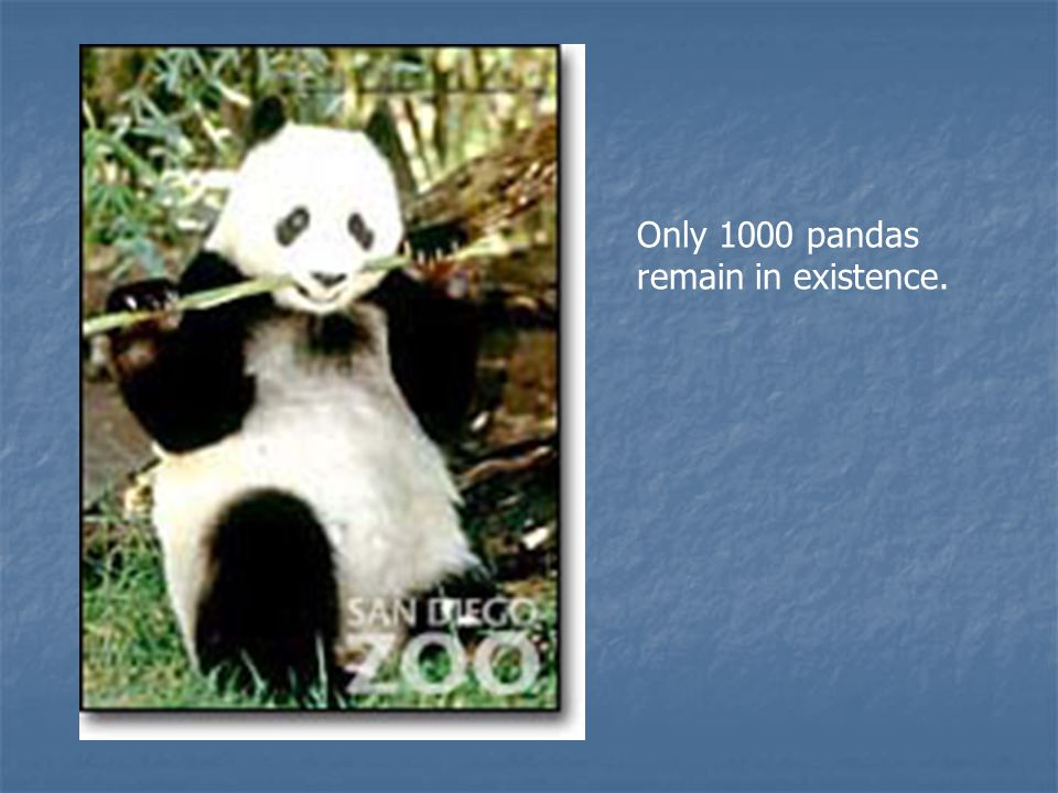 Only 1000 pandas remain in existence.
