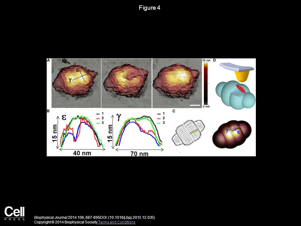 Figure 5 Biophysical Journal 2014 106, 687-695DOI: (10.1016/j.bpj.2013.12.035) Copyright © 2014 Biophysical Society Terms and Conditions Terms and Conditions