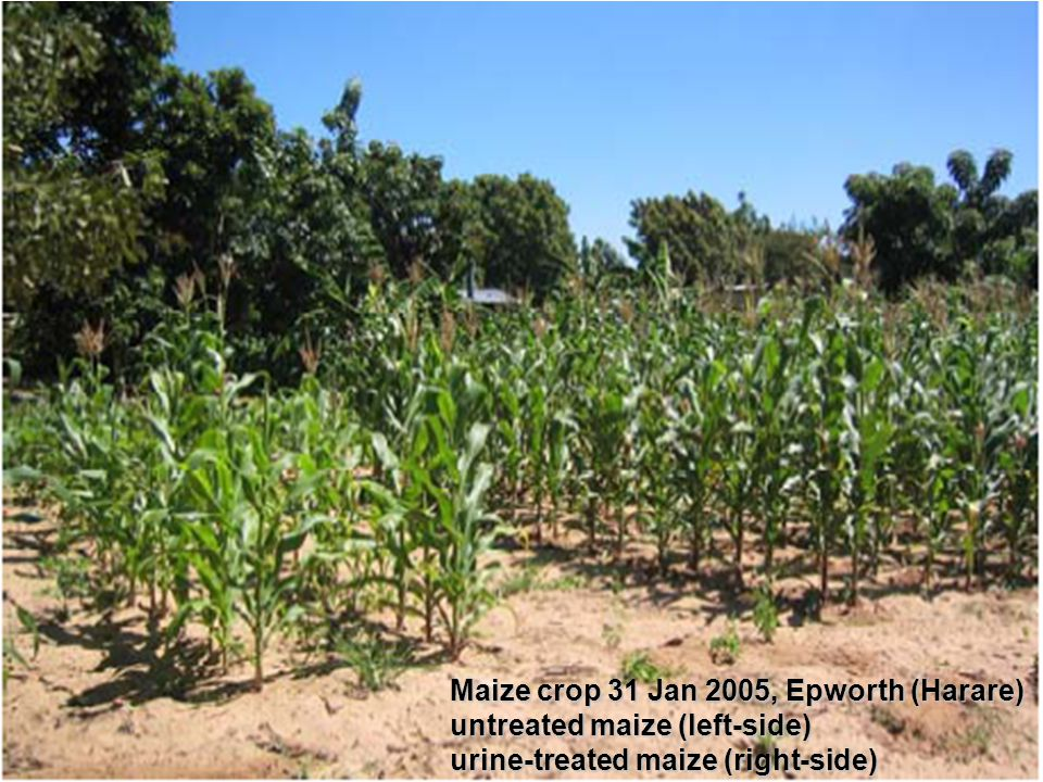 Maize crop 31 Jan 2005, Epworth (Harare) untreated maize (left-side) urine-treated maize (right-side)