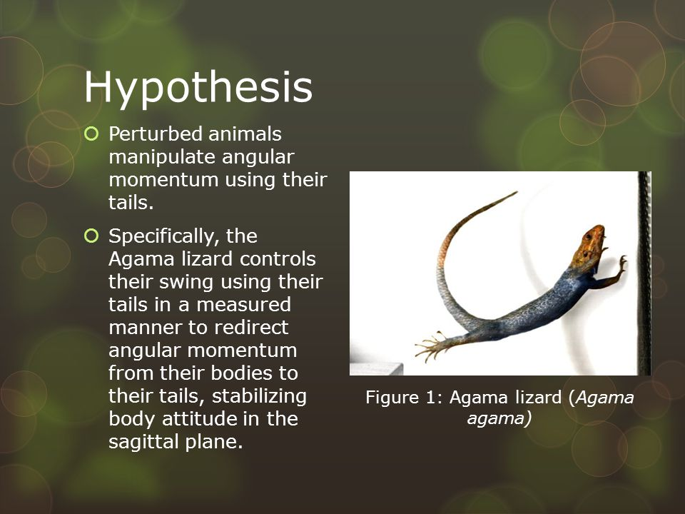 Hypothesis  Perturbed animals manipulate angular momentum using their tails.