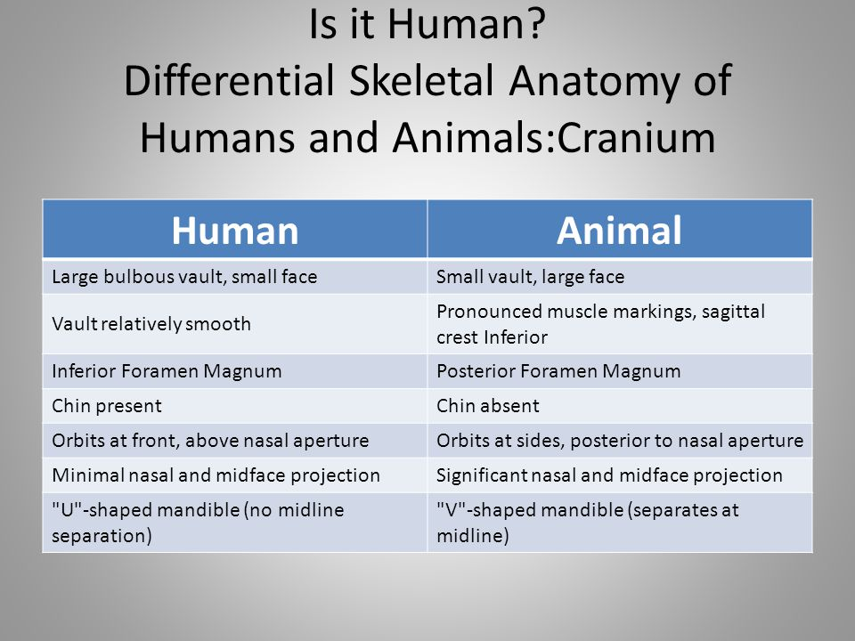 Is it Human? Differential Skeletal Anatomy of Humans and Animals:Cranium HumanAnimal Large bulbous vault, small faceSmall vault, large face Vault rela