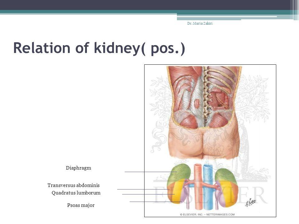 Relation of kidney( pos.) Dr. Maria Zahiri Diaphragm Transversus abdominis Quadratus lumborum Psoas major