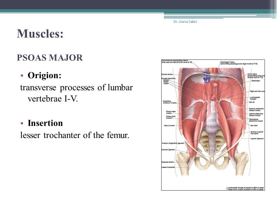 Muscles: PSOAS MAJOR Origion: transverse processes of lumbar vertebrae I-V. Insertion lesser trochanter of the femur. Dr. Maria Zahiri