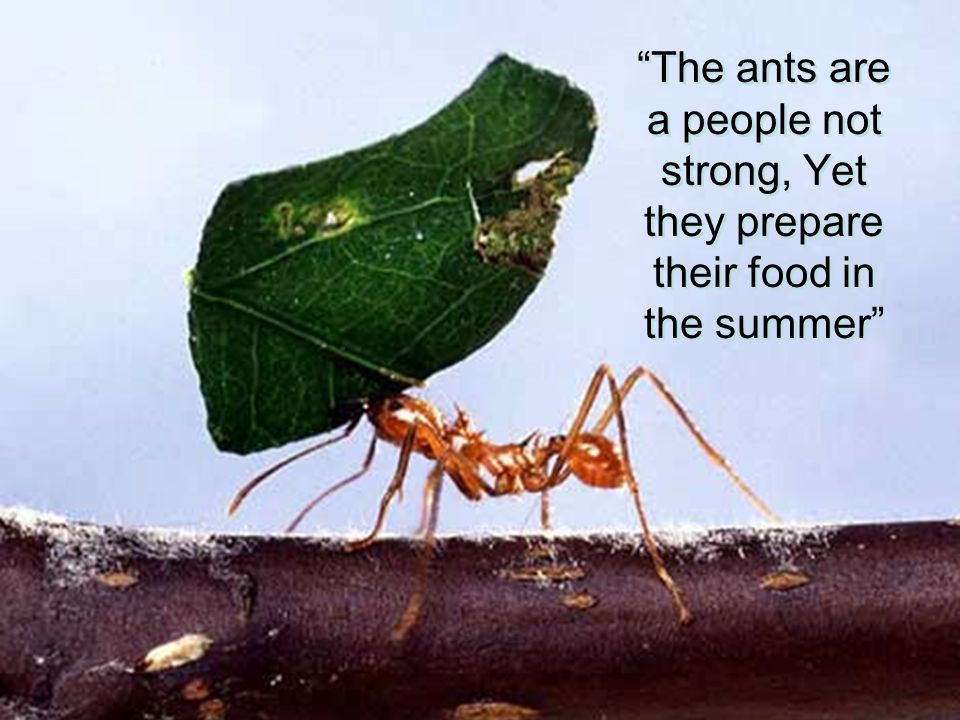 The ants are a people not strong, Yet they prepare their food in the summer