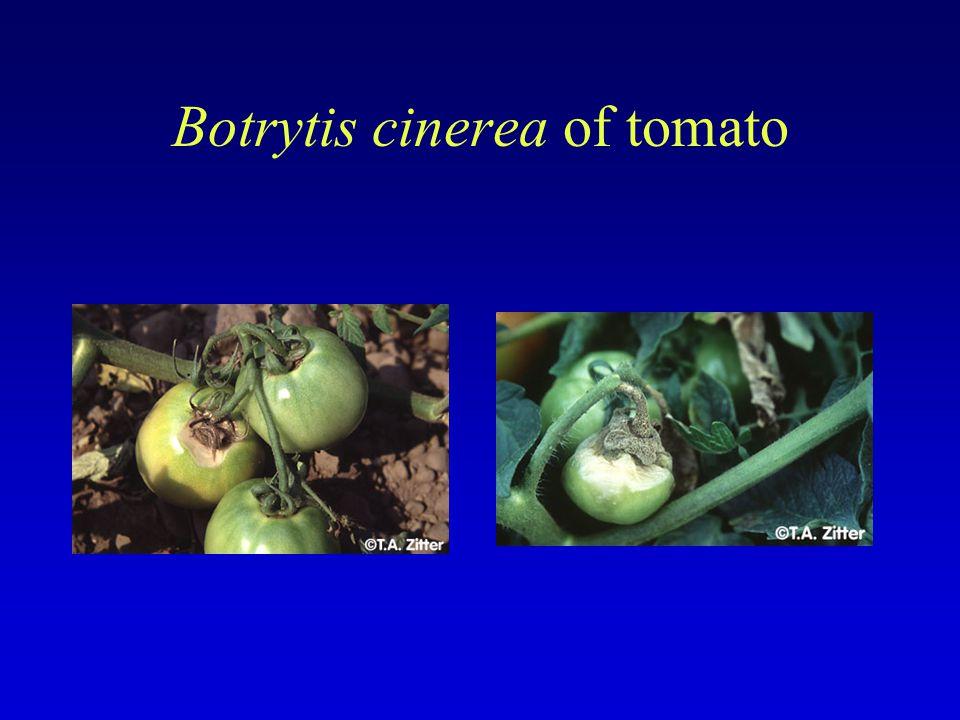 Botrytis cinerea of tomato