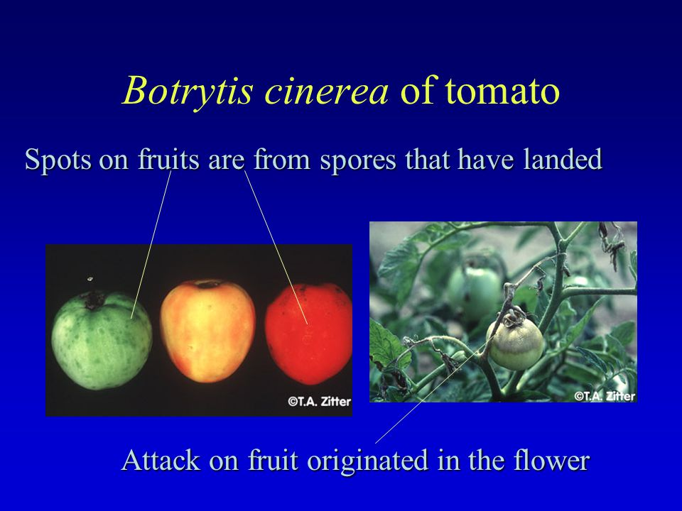 Spots on fruits are from spores that have landed Attack on fruit originated in the flower
