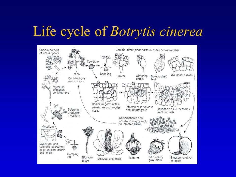 Life cycle of Botrytis cinerea
