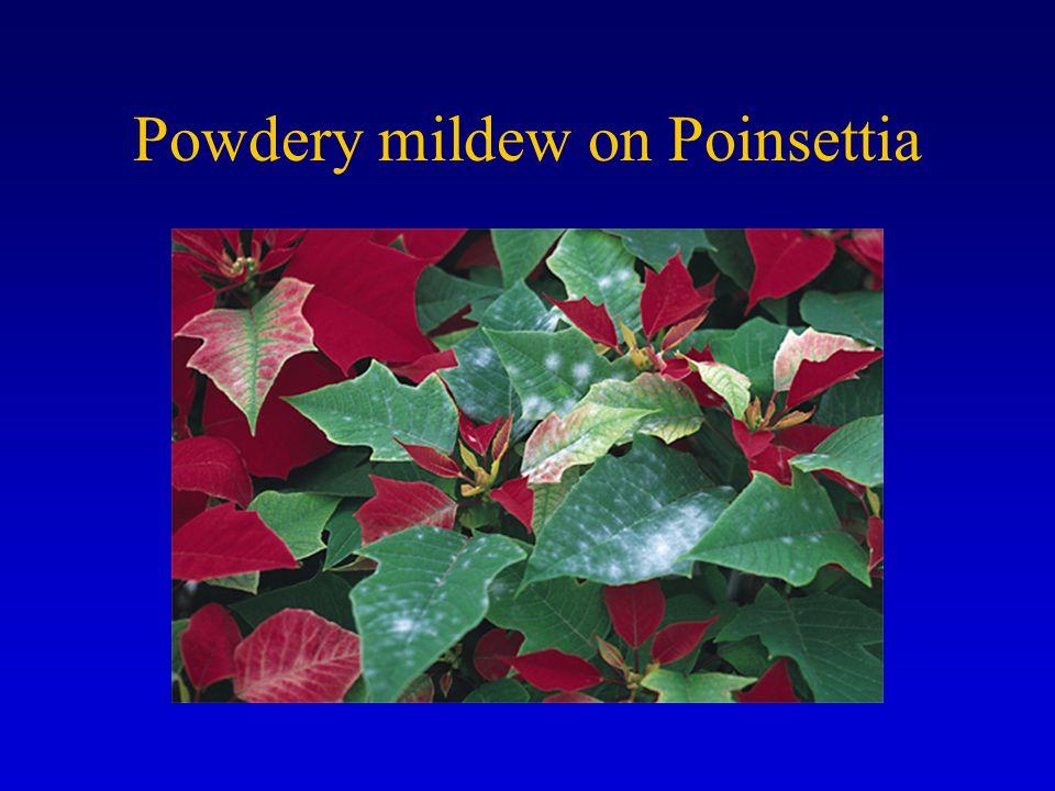 Powdery mildew on Poinsettia