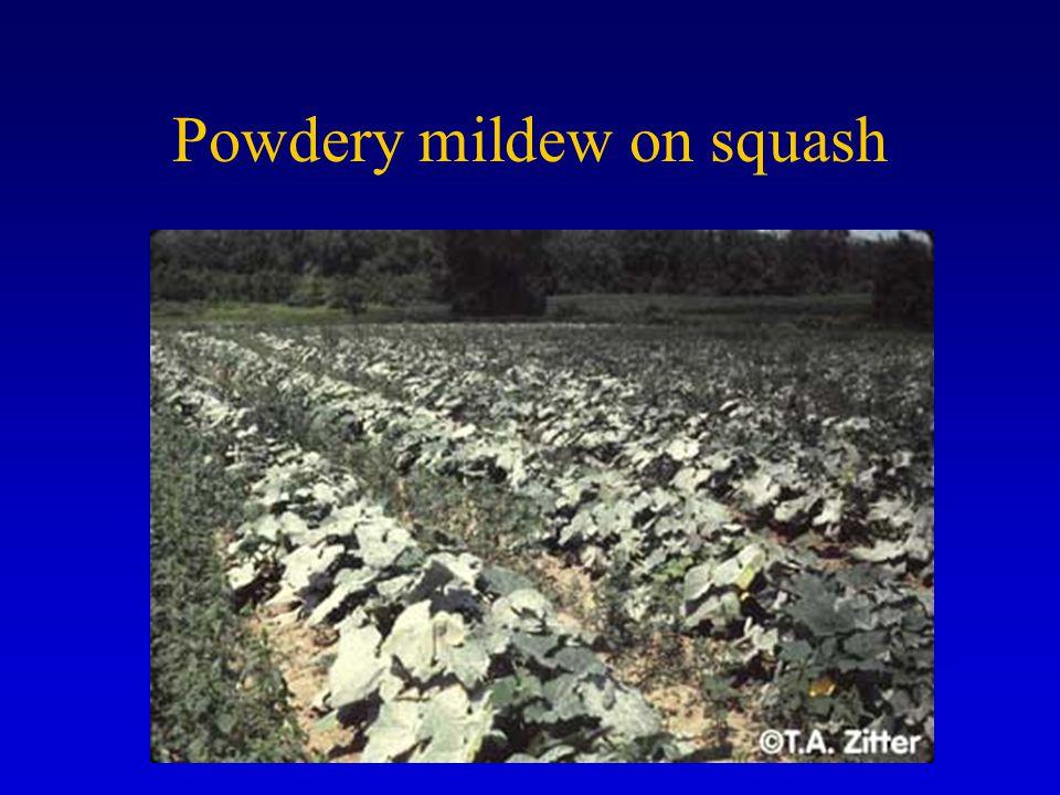 Powdery mildew on squash