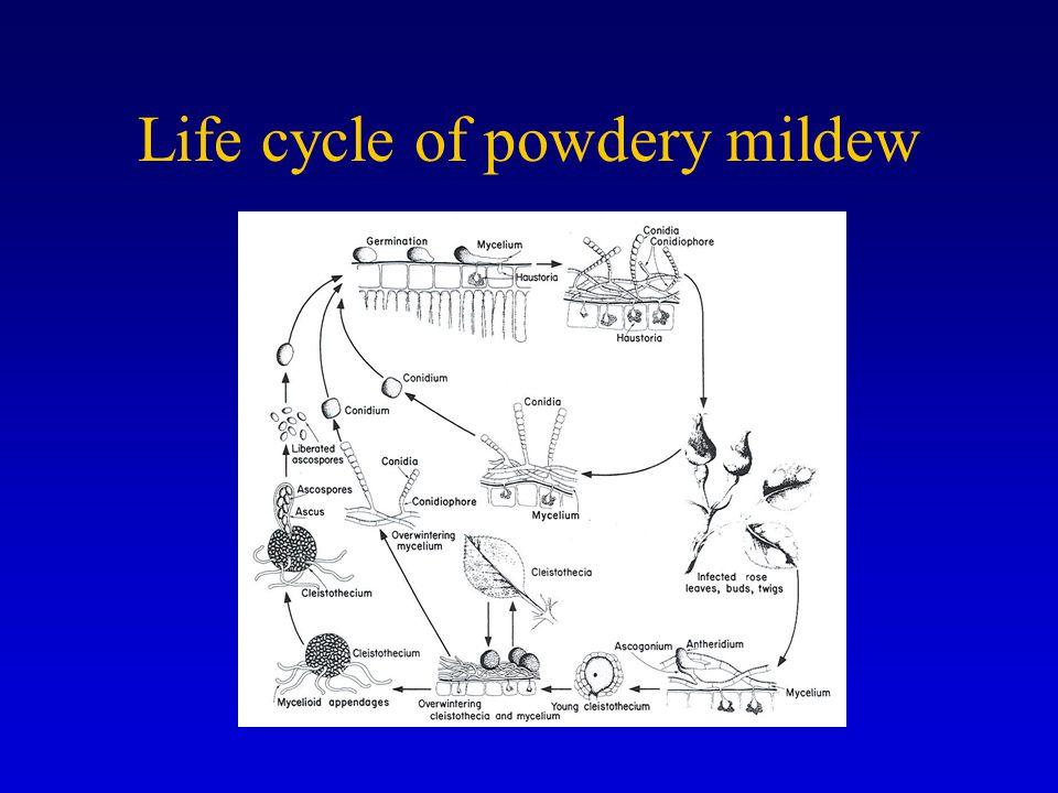 Life cycle of powdery mildew