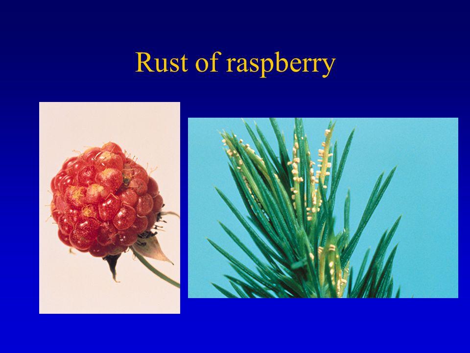 Rust of raspberry