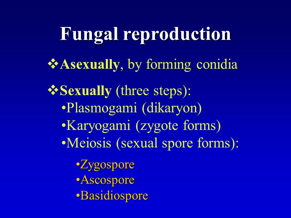 Fungal reproduction  Asexually, by forming conidia  Sexually (three steps): Plasmogami (dikaryon) Karyogami (zygote forms) Meiosis (sexual spore for
