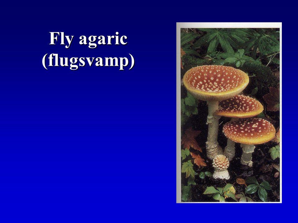 Fly agaric (flugsvamp)