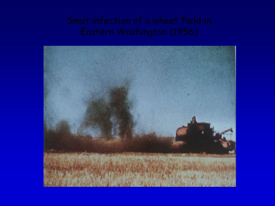 Smut infection of a wheat field in Eastern Washington (1956)