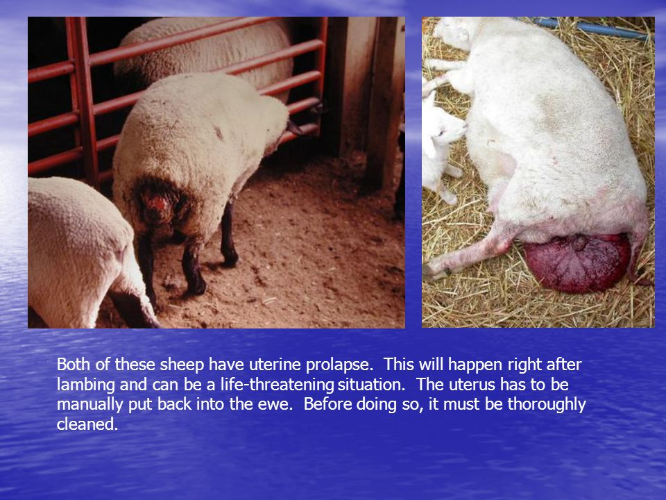 Both of these sheep have uterine prolapse. This will happen right after lambing and can be a life-threatening situation. The uterus has to be manually
