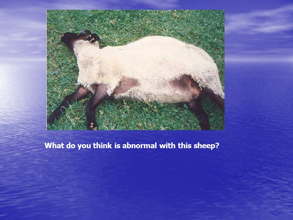 What do you think is abnormal with this sheep