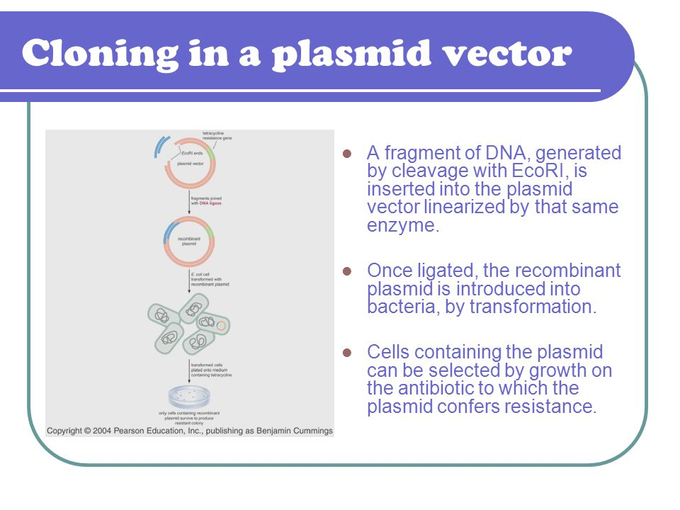 Cloning in a plasmid vector A fragment of DNA, generated by cleavage with EcoRI, is inserted into the plasmid vector linearized by that same enzyme. O