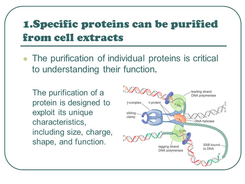 1.Specific proteins can be purified from cell extracts The purification of individual proteins is critical to understanding their function. The purifi