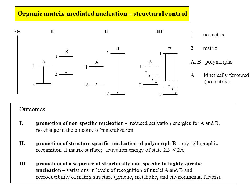 Organic matrix-mediated nucleation – structural control 1 2 2 2 2 2 2 1 1 1 1 1 A A A B B B G IIIIII 1no matrix 2matrix A, B polymorphs A kinetically favoured (no matrix) Outcomes I.promotion of non-specific nucleation - reduced activation energies for A and B, no change in the outcome of mineralization.
