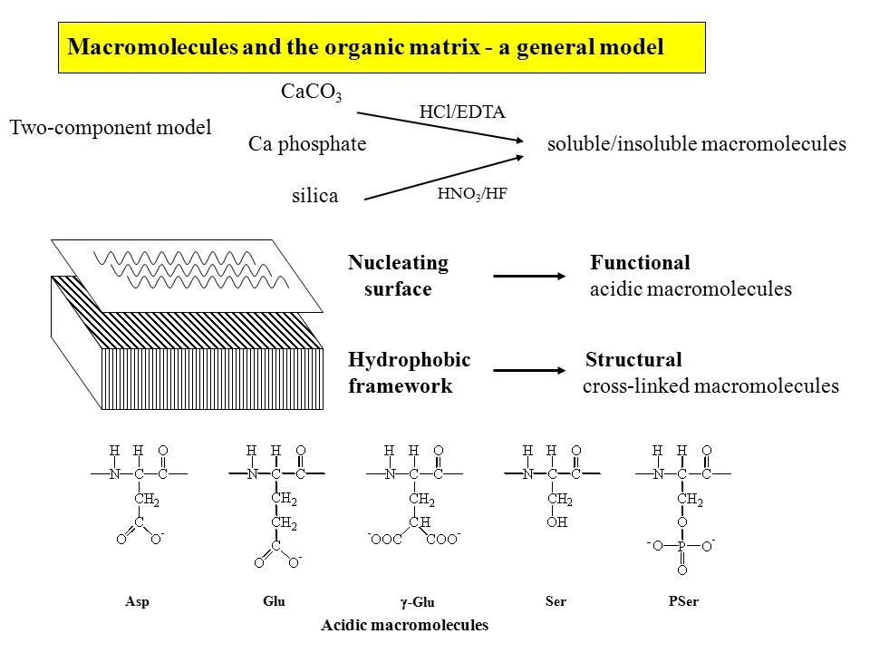 Macromolecules and the organic matrix - a general model Two-component model Nucleating Functional surface acidic macromolecules Hydrophobic Structural framework cross-linked macromolecules CaCO 3 Ca phosphate soluble/insoluble macromolecules silica HCl/EDTA HNO 3 /HF AspGlu  -Glu SerPSer Acidic macromolecules
