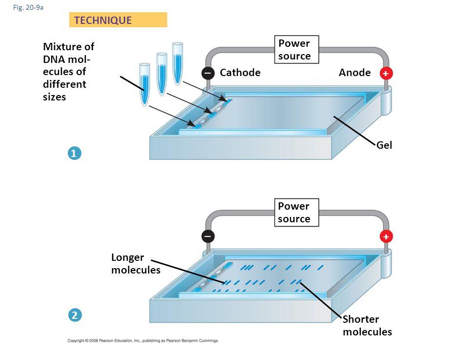 Fig. 20-9a Mixture of DNA mol- ecules of different sizes Power source Longer molecules Shorter molecules Gel Anode Cathode TECHNIQUE 1 2 Power source
