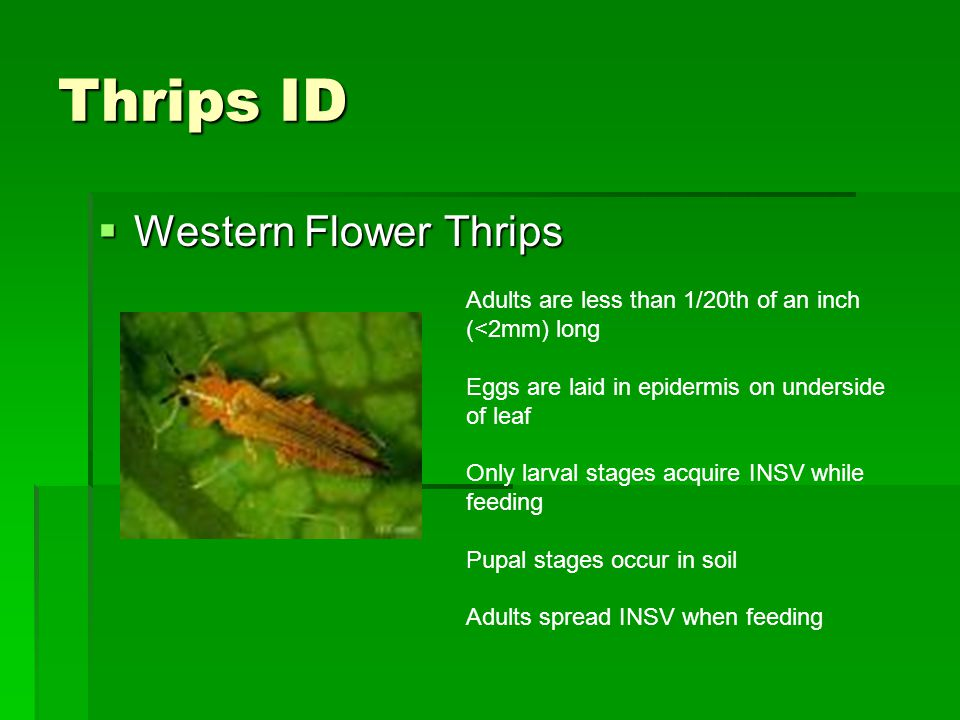 Thrips ID  Western Flower Thrips Adults are less than 1/20th of an inch (<2mm) long Eggs are laid in epidermis on underside of leaf Only larval stage